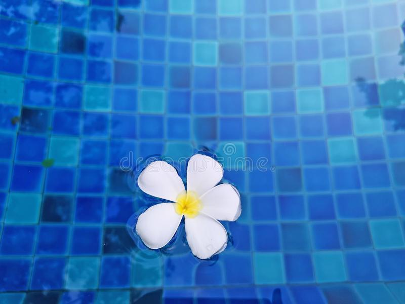 White petals of fragrant temple tree flower plant on waving vivid turquoise blue water in the swimming pool stock images