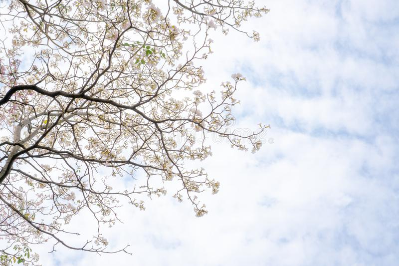 White petals of Pink Trumpet shrub flowering tree blossom on green leaves under clouds and blue sky, know as Pink Tabebuia rosea royalty free stock photos