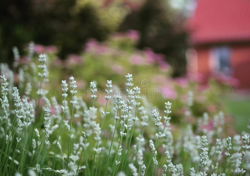 White petite flower. Serene place near cotrage, countryside royalty free stock image