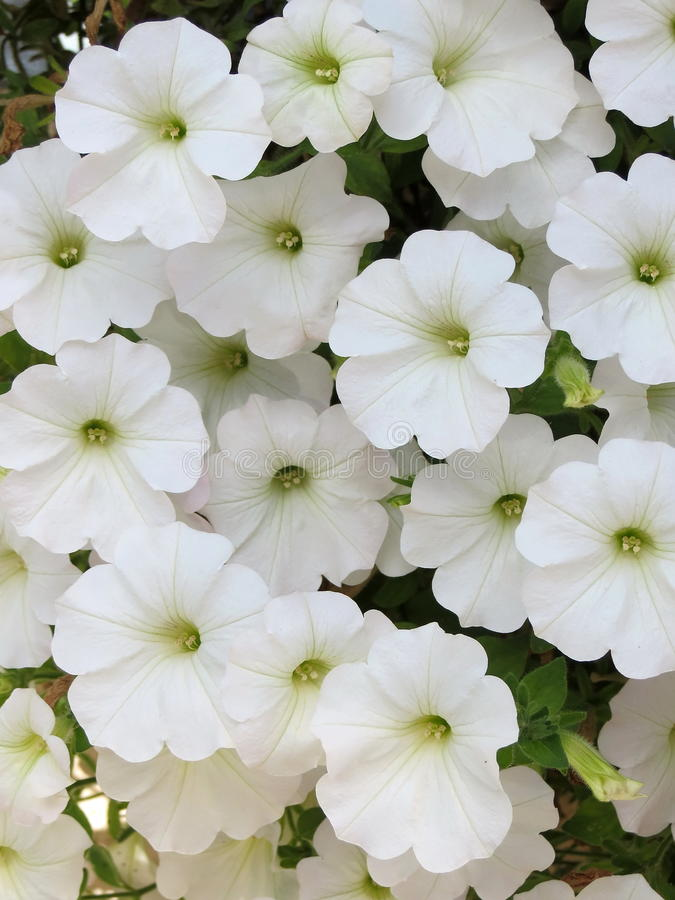 White petunia stock photos