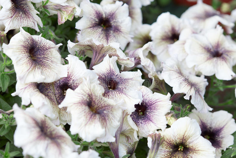 White petunia flowers with purple veining stock photography