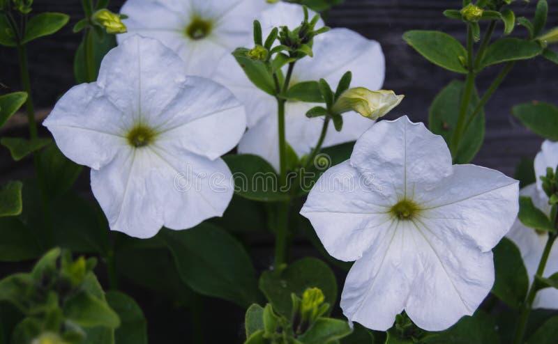 White petunia on wooden background stock photos