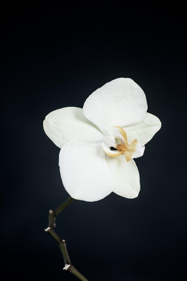 White phalaenopsis orchid stock photography