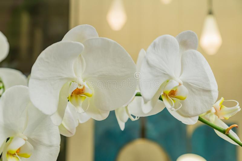 White Phalaenopsis Orchid flower. Blooming tropical plant at home. Domestic gardening stock image