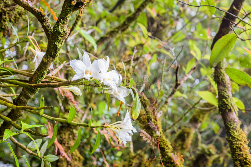 White Phalaenopsis orchid growing on the side of trees in a deep stock images