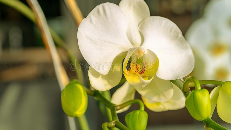 White of a phalaenopsis orchid, moon orchid or moth orchid. With several buds on a branch royalty free stock images