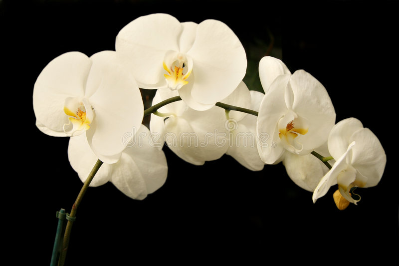 White phalaenopsis orchids royalty free stock photo