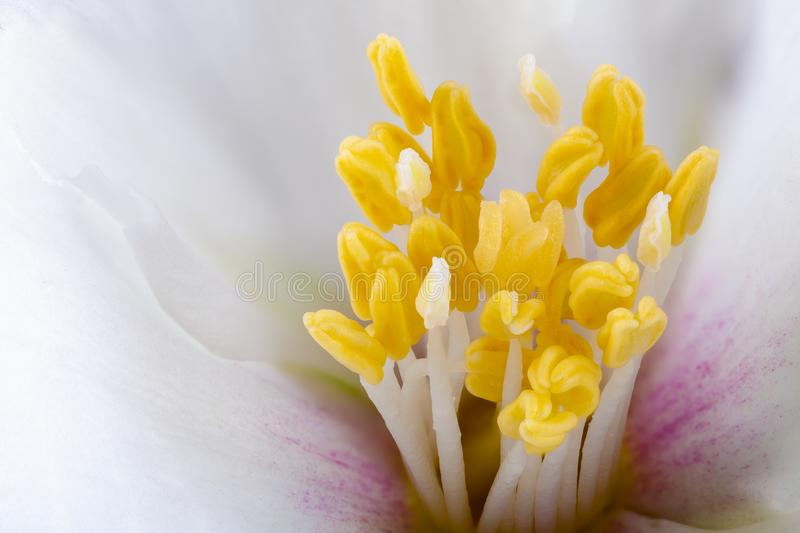 Philadelphus flower extreme close up with pollen. White Philadelphus flower stamens extreme close up with pollen heads. Macro photography stock images