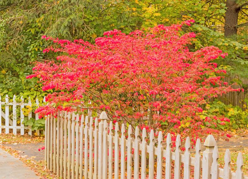 White picket fence and burning bush in yard royalty free stock image