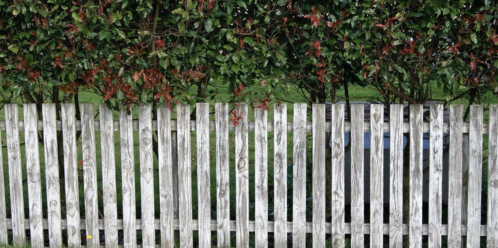 White picket fence. Photo showing close up of a white picket fence with a hedge behind it stock illustration