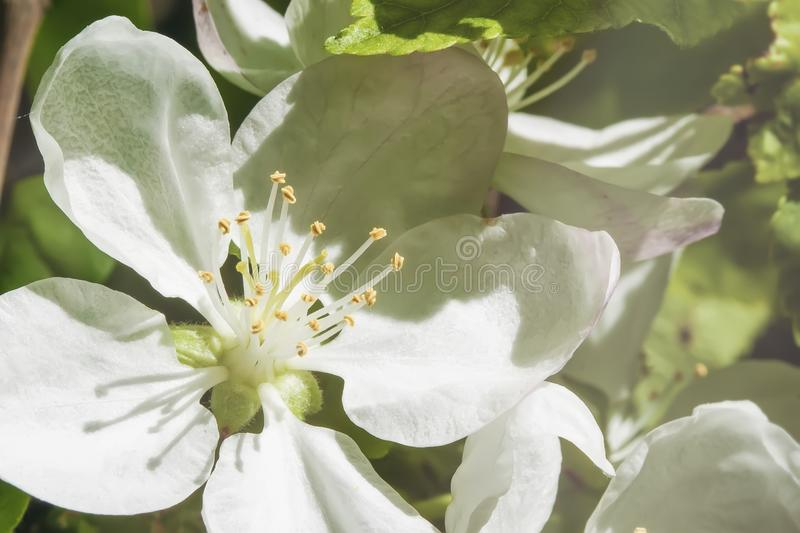 White picturesque flowers of apple, cherry close-up on sunny spring day. Branch of sakura, blooming fruit spring tree stock photography