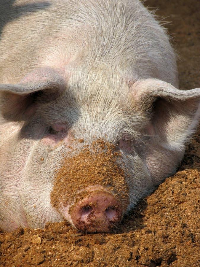 White Pig Stock Images