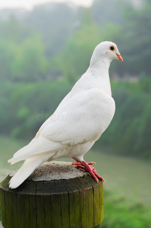 Free White Pigeon Royalty Free Stock Images - 17048899