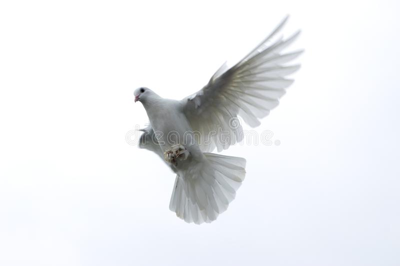 white pigeon dove flying in the sky freedom hope stretched wings stock photo
