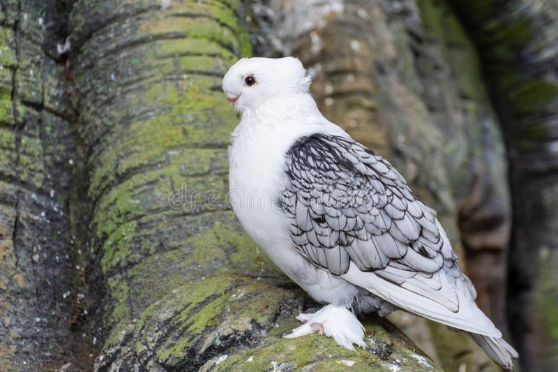 White Pigeon or Dove known as the Oriental Frill Pigeon a fancy domestic pigeon breed for showing and breeding. Feathered feet. royalty free stock image