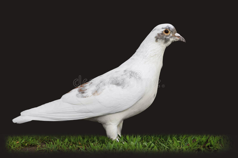 White Pigeons Are Struggling In Flight On A Black Background