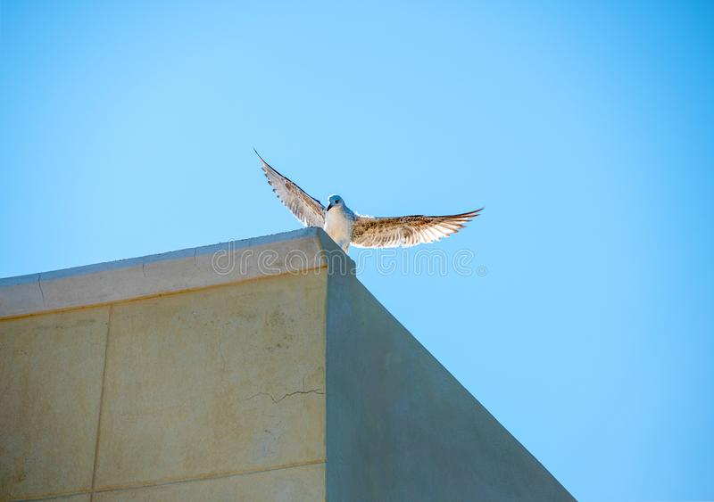 White pigeon with open wings in front of a clear, bright blue s stock photo