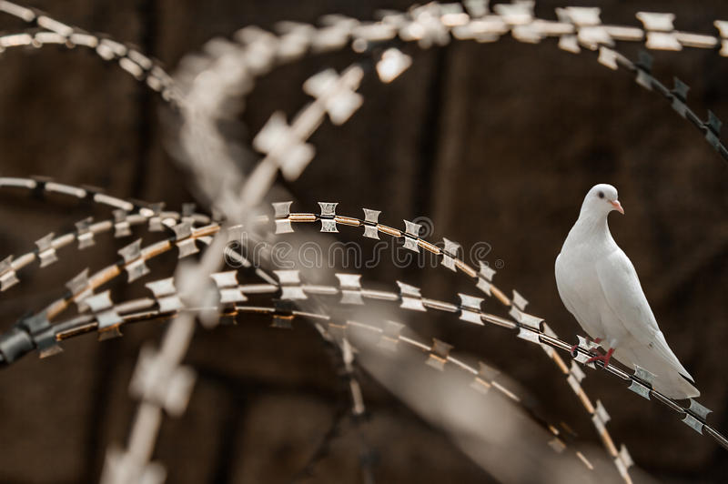 White pigeon razor wire fence. Close-up of a rusty metal razor fence wire with a white pigeon on it stock photos