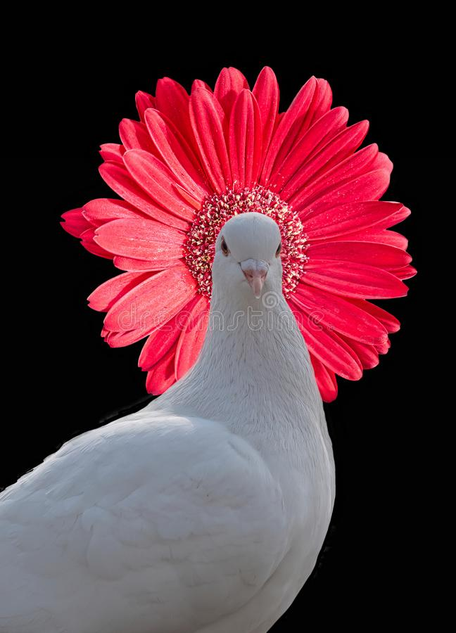 White pigeon with red flower hat royalty free stock images
