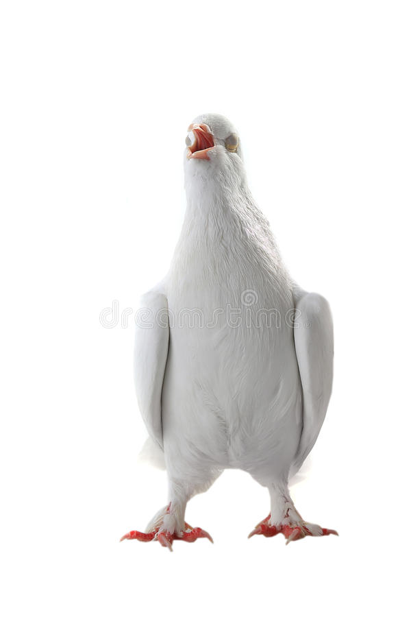 White pigeon. Singing white pigeon blindly on a white background royalty free stock photos