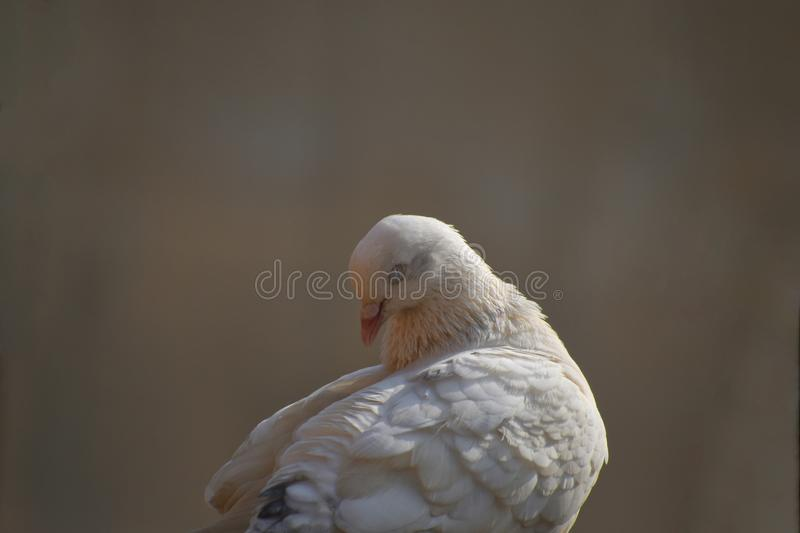 White pigeon sleeping in a lazy day. portrait of a young sleeping pigeon.  royalty free stock images