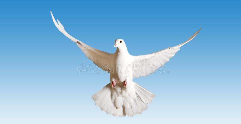 White Pigeon Symbol Of The Peace Flies On The Blue Sky Stock Photo
