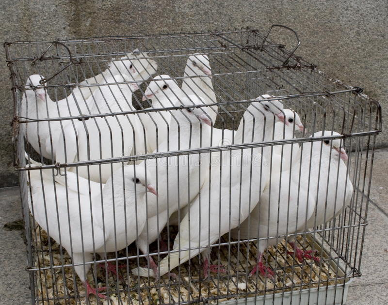 White pigeons royalty free stock photography