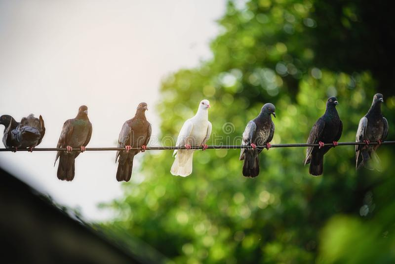 White pigeons amidst the black body on the power lines that look different stock photography