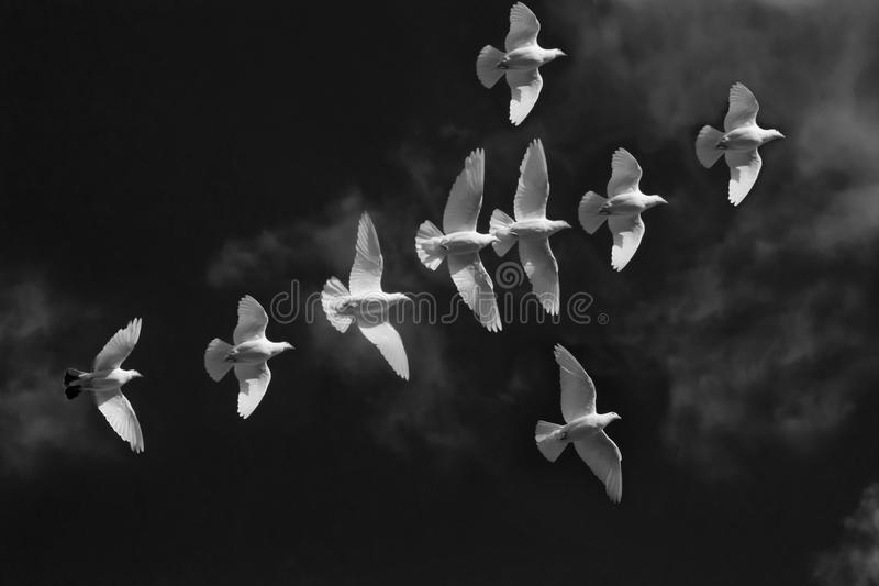 White Pigeons Fly in shape of christian symbol crucifix on black sky. Picture symbol of sadness, death and Peace royalty free stock photos