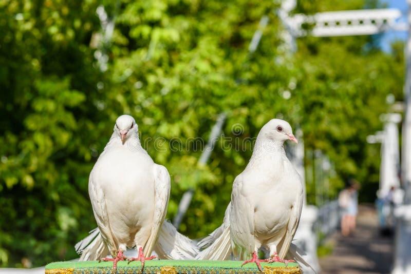 White pigeons royalty free stock image