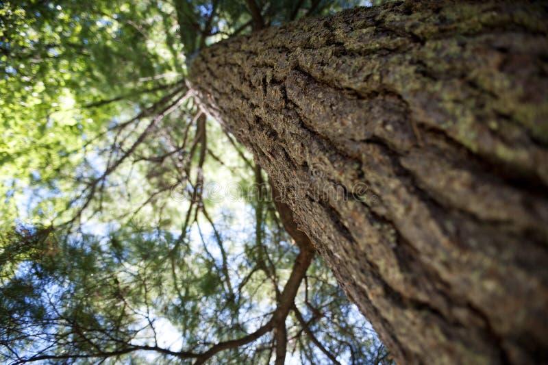 White Pine Bokeh stockfotos