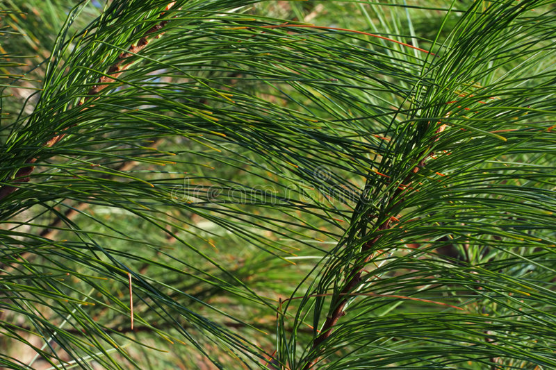 White Pine Needles Stock Photo
