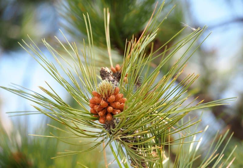 White Pine occidentale o pinus monticola immagine stock libera da diritti