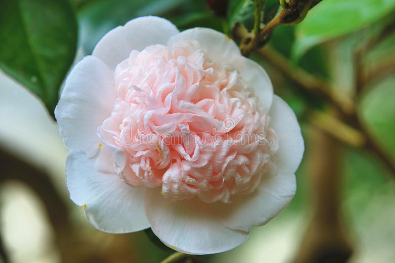 White with pink camellia flower closeup stock photo image of download white with pink camellia flower closeup stock photo image of bright garden mightylinksfo