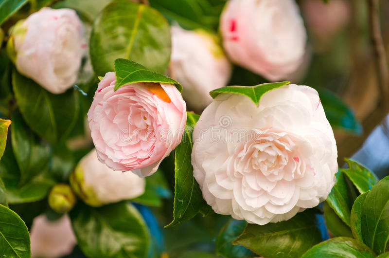 White and pink camellia stock image