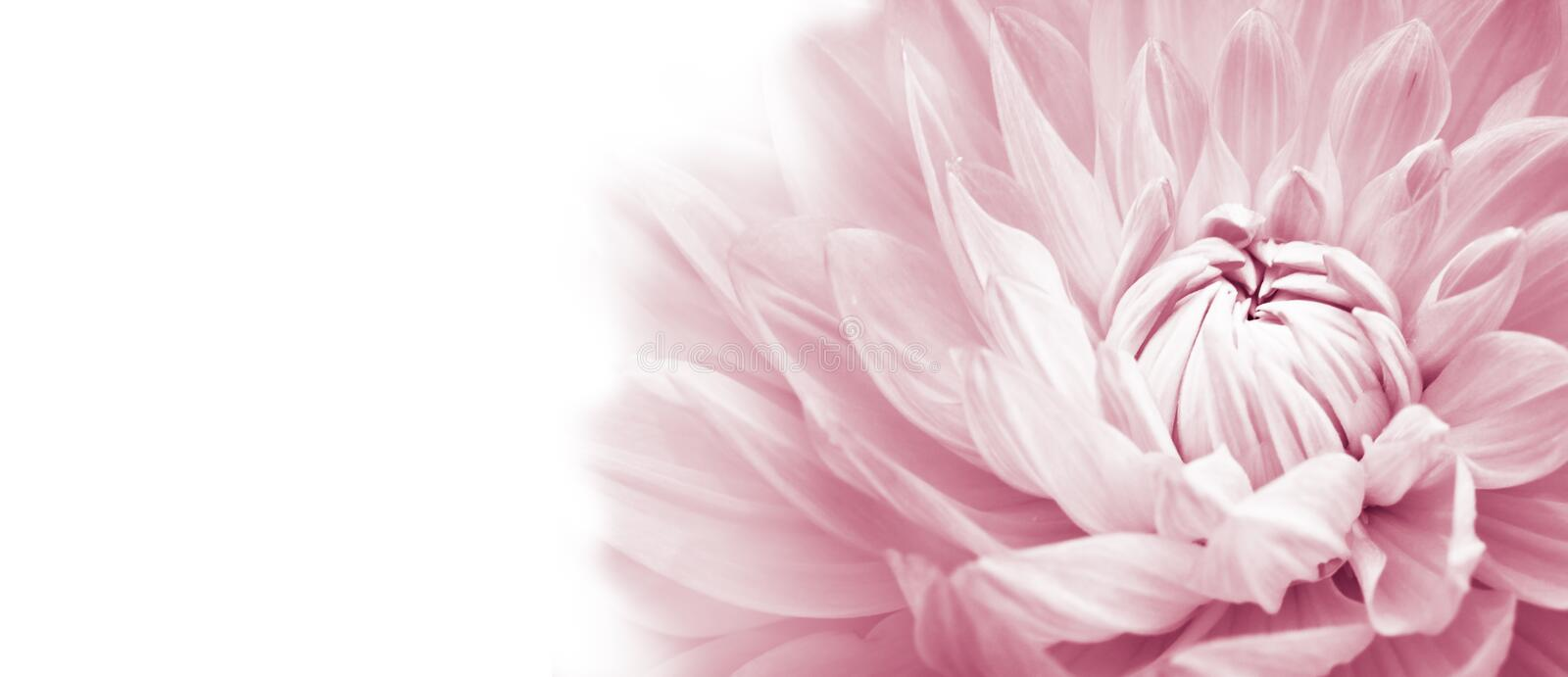 White and pink colourful dahlia flower macro photo with light pastel colors in white wide banner empty background panorama. With large negative space for text royalty free stock image
