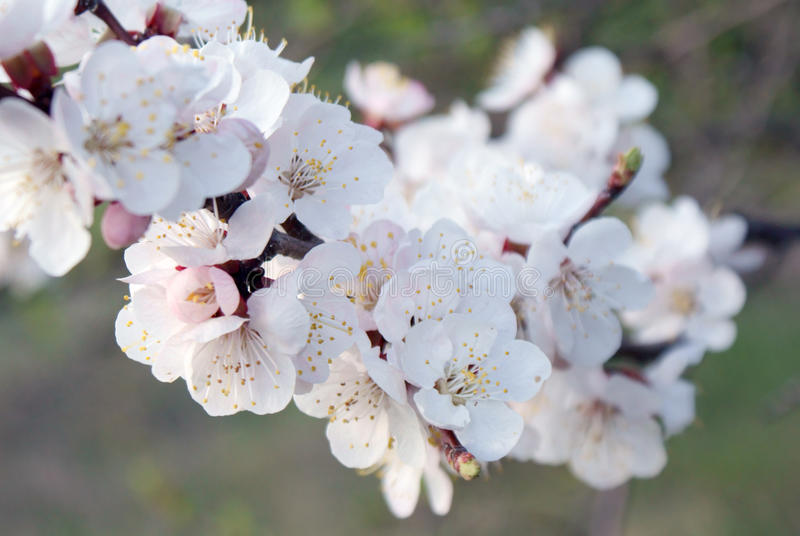 White-pink flowers on a blossoming branch cherry closeup stock images