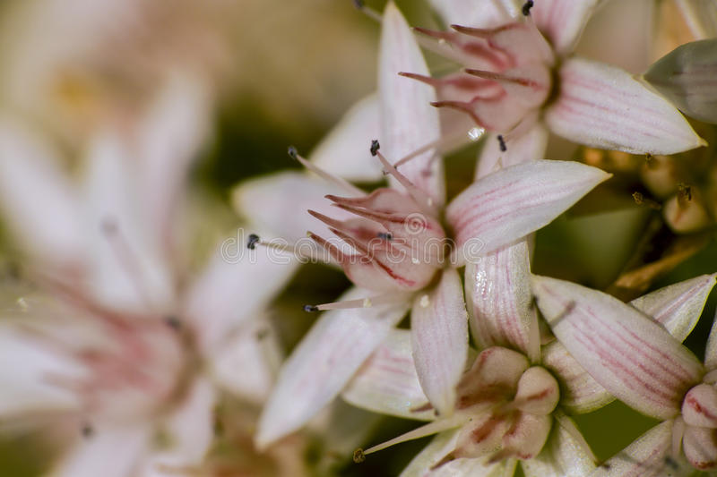 White and pink flowers close up photo macro royalty free stock image