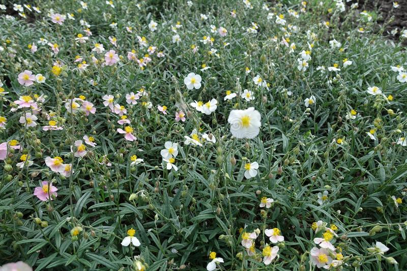 White and pink flowers of Helianthemum. Apenninum stock photography