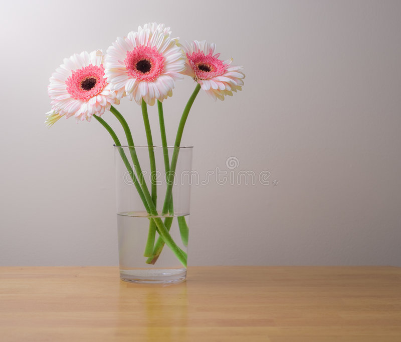 Download White And Pink Gerber Daisies In Vase Stock Images - Image: 7976864