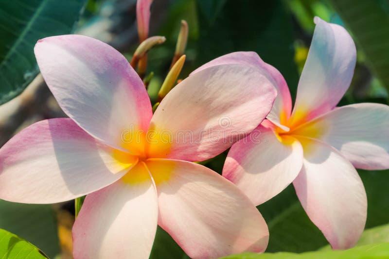 White Pink Hawaiian Plumeria Flowers in Sunshine stock photo