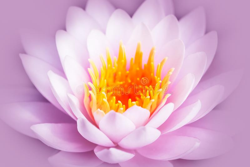 White and pink lotus flower or water lily with yellow core isolated on a pink background.  stock photo