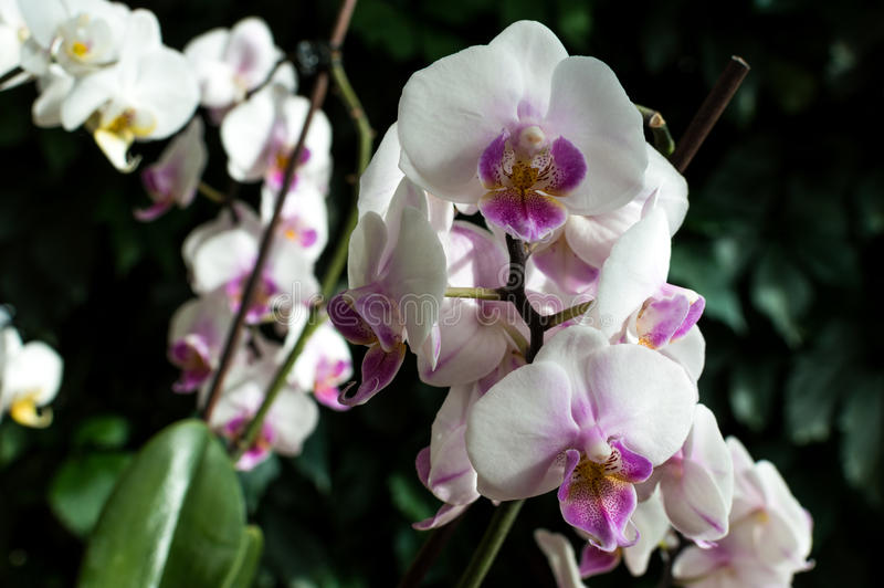 White pink orchid, white orchid on green, white orchids pink lines, natural flowers.  royalty free stock images