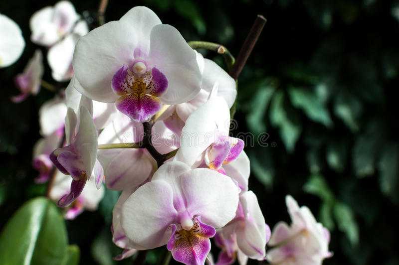 White pink orchid, white orchid on green, white orchids pink lines, natural flowers.  stock images