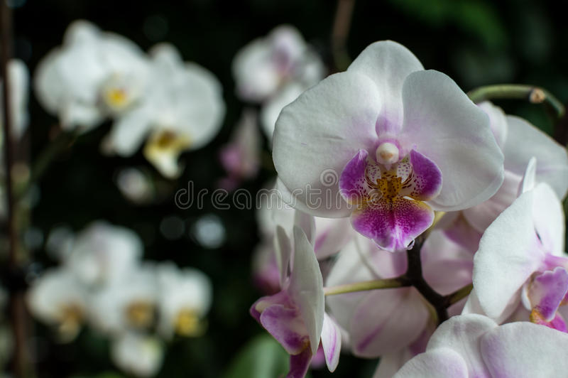 White pink orchid, white orchid on green, white orchids pink lines, natural flowers.  stock photography