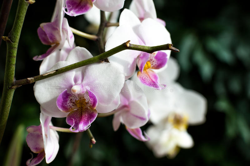 White pink orchid, white orchid on green, white orchids pink lines, natural flowers.  stock photos