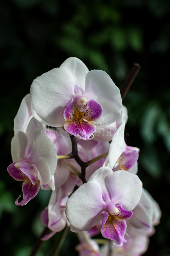 White pink orchid, white orchid on green, white orchids pink lines, natural flowers.  stock image