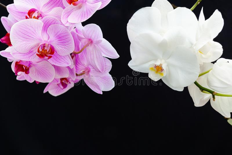 White and pink Orchids on a black background. With space for text royalty free stock photos