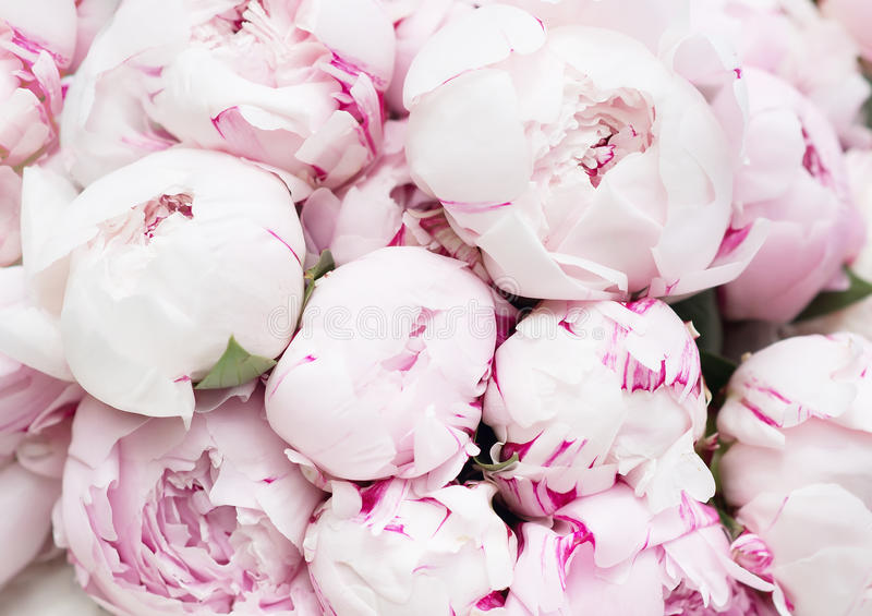 White and pink peonies. Background, wallpaper. White and pink beautiful peonies. Background, wallpaper stock photos