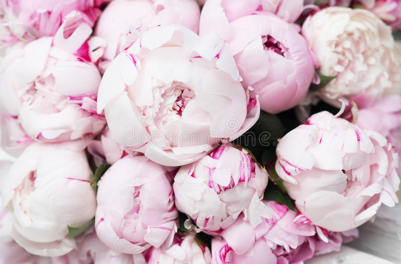 Download White And Pink Peonies Background Wallpaper Stock Photo